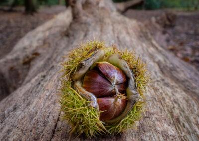 Hatching chesnuts